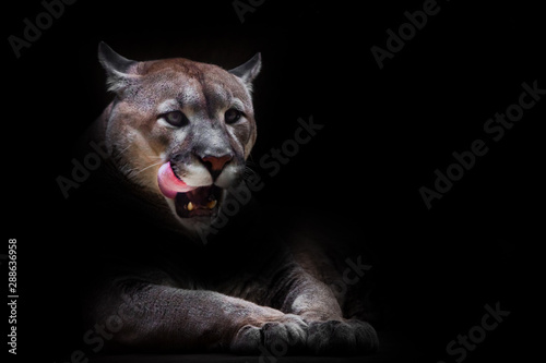 Spoed Fotobehang Puma A female cougar (puma) peeps out of the darkness and greedily predatoryly licks its face with its red tongue, dreaming of devouring prey. symbol of female sexuality, dark background.