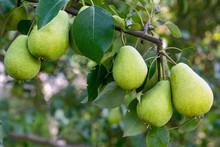 Several Ripening Pear Fruits O...