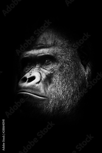 black and white photo, stern male. Portrait powerful dominant male gorilla proudly and seriously (attentively) looks.