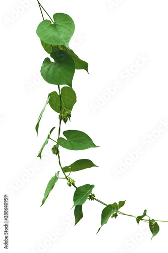 Fotografia  Vine with green leaves, heart shaped, twisted separately on a white background