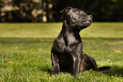 Fotografia  Five months old staffordshire bull terrier young female