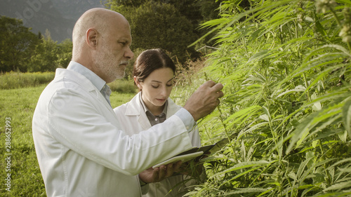 Agronomists doing a quality control in a hemp field