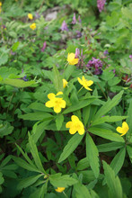 Anemone Ranunculoides, The Yellow Anemone, Yellow Wood Anemone Or Buttercup Anemone, Is A Species Of Herbaceous Perennial Plant