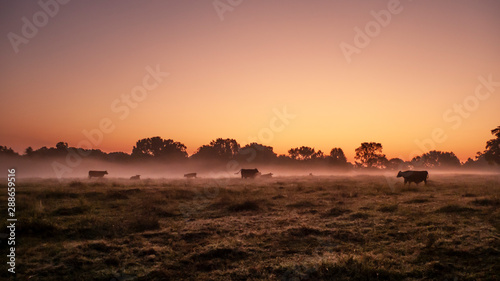 Beef cattle in an autumn pasture at sunrise with fog Wallpaper Mural