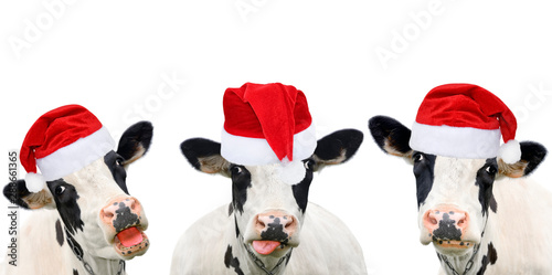 Canvas Prints Cow Three funny cows in Christmas hats.