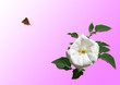 canvas print picture - A white rose and flying butterfly in the morning sun on the pink background.