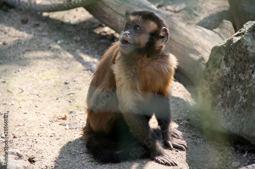 capuchin monkey in a zoo in france Tablou Canvas
