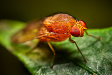 Red Fly With Facette Eyes