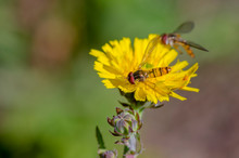 Little Yellow Hoverfly On Blos...