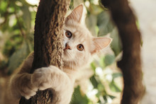 Summer Portrait Of A Beautiful Ginger Cat Walking On Nature, Brown-eyed Kitten Plays Hiding Behind A Grape Branch