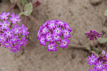 Purple Wildflower In Sand Dune