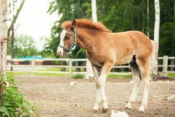 Portrait of a brown foal