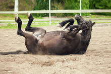 Black Horse Rolling On The Sand