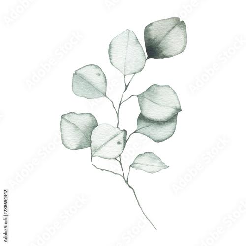 Fototapeta Watercolor eucalyptus dusty green leaf plant herb spring flora obraz na płótnie
