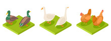Isometric Poultry Vector. Hen, Duck And Goose 3d Illustration. Goose And Duck, Rooster Farming Isolated