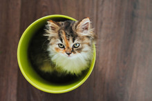 A Little Tricolor Kitten Sits...