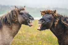 Two Wild Konik Horses Yawning, Looks Like Talking And Laughing, Entangled Burrs Of Burdock Filled Forelock And Mane, Nature Reserve Millingerwaard, Gelderland, Netherlands