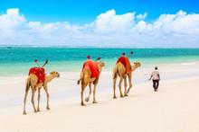 Camels At African Sandy Diani Beach, Indian Ocean In Kenya, African Landscape.
