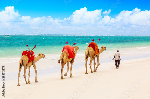 Poster Chameau Camels at African sandy Diani beach, Indian ocean in Kenya, African landscape.