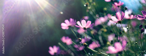 Wild purple cosmos flowers in meadow in rays of sunlight on nature macro on dark green background with copy space, soft focus, beautiful bokeh.