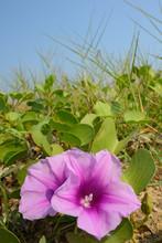 Beach Morning Glory Flower