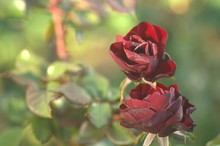 Blooming Flower Red Roses Covered With Morning Dew