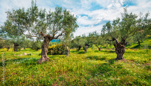 Foto op Aluminium Olijfboom Rural spring scene of olive garden on the Zakynthos island. Bright morning view of Greece, Europe. Beauty of countryside concept background. Artistic style post processed photo.