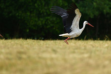White Stork Taking Off In The ...