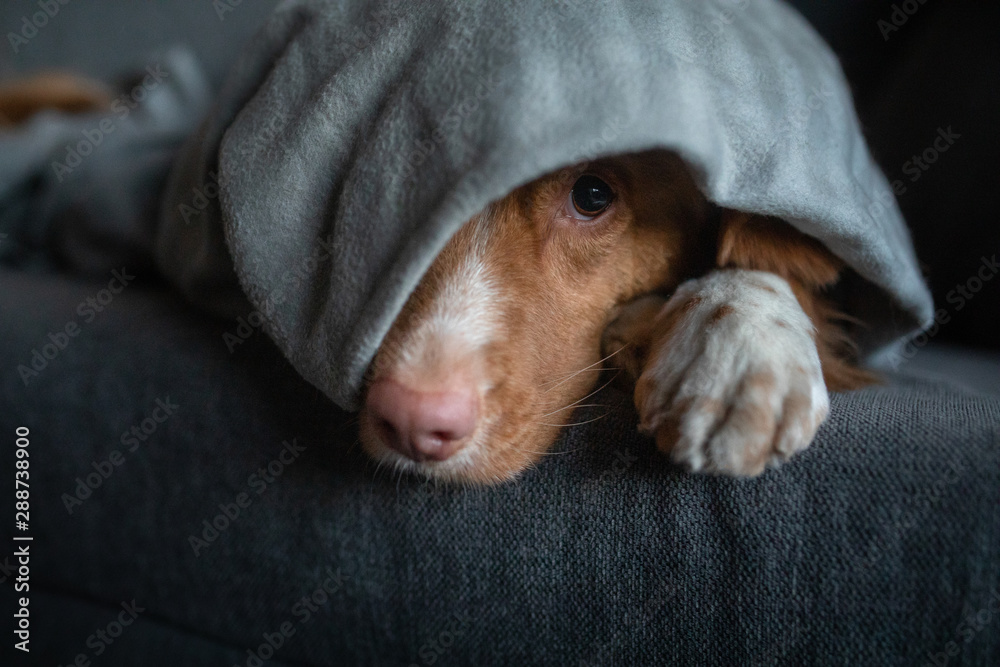 Fototapety, obrazy: cute dog under the covers at home on the couch. Nova Scotia Duck Tolling Retriever resting and basking