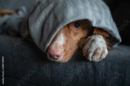 fototapeta na ścianę cute dog under the covers at home on the couch. Nova Scotia Duck Tolling Retriever resting and basking