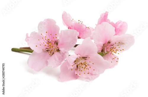 Photographie Cherry blossom, sakura flowers isolated