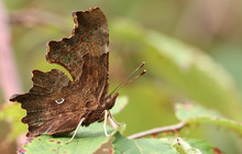 The Side View Of A Beautiful Comma Butterfly, Polygonia C-album, Perched On A Leaf In A Woodland Glade.