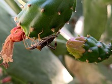Insect On A Red Cactus Flower,...