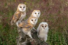 Cute Family Barn Owl (Tyto Alb...