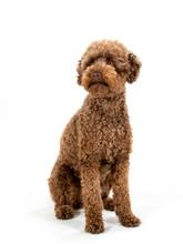 Australian Labradoodle Dog Portrait Isolated On White, Studio Shot. Copy Space.
