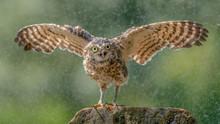 Burrowing Owl (Athene Cunicula...