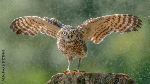 Photo  Burrowing owl (Athene cunicularia)  cooling in the rain