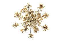 Dried Hogweed Seedhead
