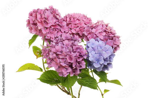 Montage in der Fensternische Hortensie Pink and blue hydrangea flowers