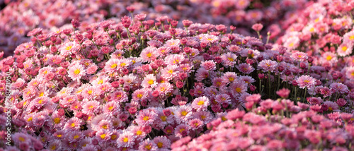 Foto op Aluminium Tuin Wavy surface of small pink, light purple flowers, spray chrysanthemums. Beautiful floral background, selective focus