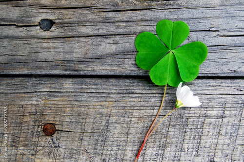 Fotografía  Green clover with four leaves and small white flower on gray wooden  background