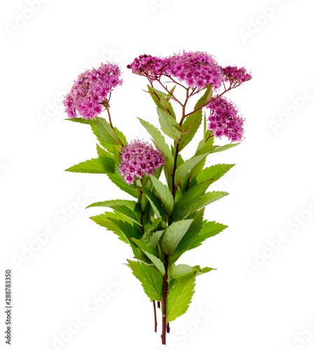 Canvastavla Spiraea japonica with pink inflorescences. Studio Photo