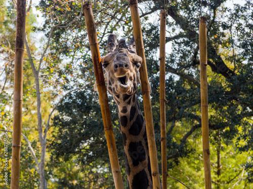 Giraffe Funny Face Looking at Camera Through Bamboo Wallpaper Mural