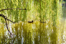 Two Ducks Swim To Meet Each Other On The Lake Under A Tree