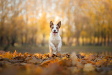 Dog In The Autumn In The Park. Jack Russell Terrier In Colored Leaves On Natur