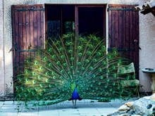 Male Peacock Fanning His Feath...