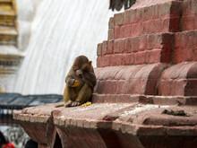 Baby Monkey Rubbing Eyes, On S...