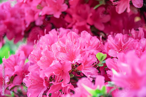 Spoed Fotobehang Roze ピンクのツツジ クローズアップ The pink azalea blossoms closed up