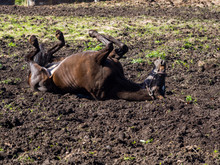 Horse Rolling In Mud Of Pasture