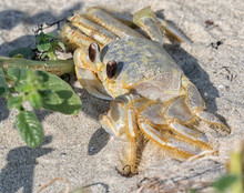 Atlantic Ghost Crab Hiding Beh...